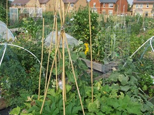 Growing plants and vegetables at an allotment