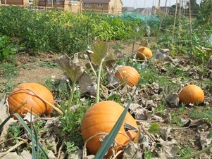 Pumpkins growing at an allotment